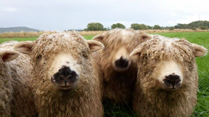 3 beautiful sheep with curly hair